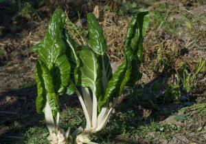 La bietola può essere coltivata anche in vaso