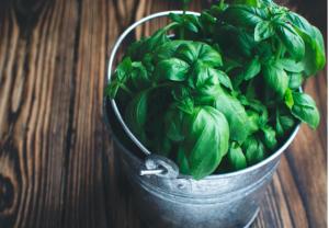 pianta di basilico - raccolta e conservazione - Riciblog